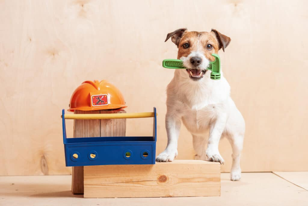 Jack Russell Terrier at construction site with builder's tools